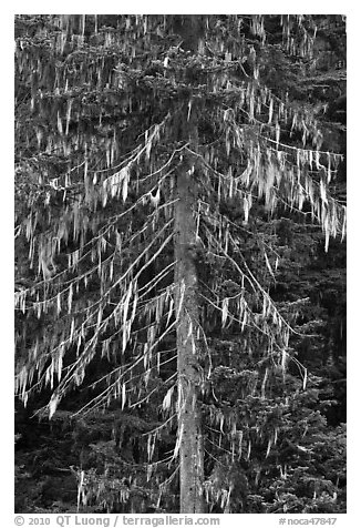 Spruce tree with hanging lichen, North Cascades National Park.  (black and white)