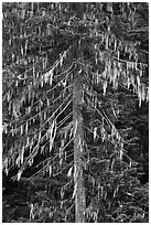 Spruce tree with hanging lichen, North Cascades National Park. Washington, USA. (black and white)