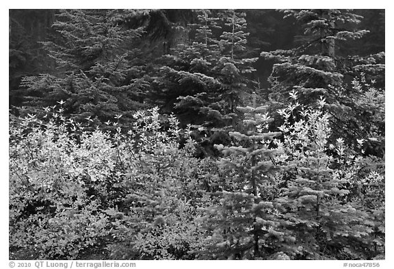 Mosaic of berry plants in autumn color and sapplings, North Cascades National Park.  (black and white)