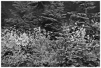 Mosaic of berry plants in autumn color and sapplings, North Cascades National Park.  ( black and white)
