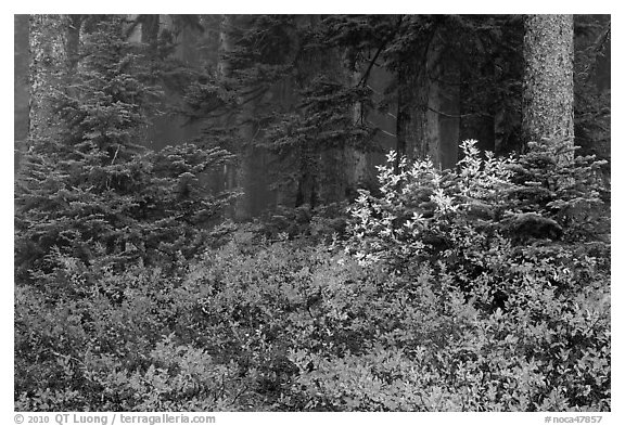 Forest in fog with floor covered by colorful berry plants, North Cascades National Park.  (black and white)