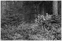 Forest in fog with floor covered by colorful berry plants, North Cascades National Park. Washington, USA. (black and white)