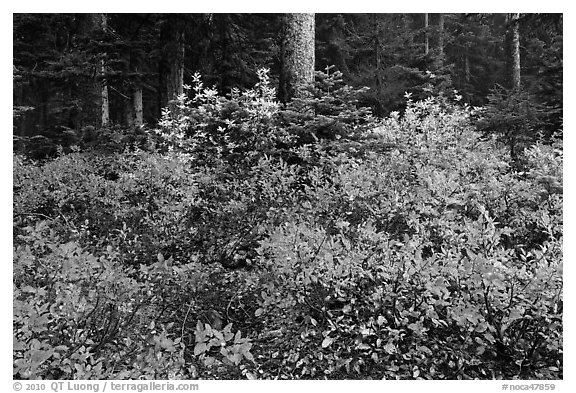 Berry shrubs color forest fall in autumn, North Cascades National Park.  (black and white)