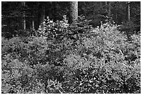 Berry shrubs color forest fall in autumn, North Cascades National Park.  ( black and white)