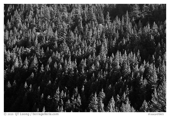 Forest on slope,  North Cascades National Park Service Complex.  (black and white)
