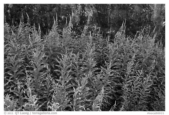 Fireweed,  North Cascades National Park Service Complex.  (black and white)