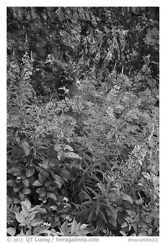 Fireweed and cliff,  North Cascades National Park Service Complex.  (black and white)