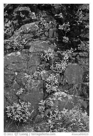 Cliff with yellow flowers,  North Cascades National Park Service Complex.  (black and white)