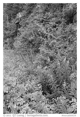 Fireweed and forest in summer, North Cascades National Park Service Complex.  (black and white)