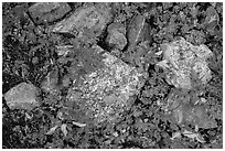 Close-up of rocks with lichen and berry plants in autumn, North Cascades National Park Service Complex.  ( black and white)