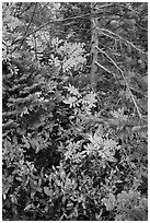 Close-up of berry plants and spruce in autumn, North Cascades National Park Service Complex.  ( black and white)