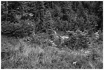 Colorful berry plants and forest in autumn, North Cascades National Park Service Complex.  ( black and white)