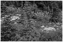 Berry plants, rocks and spruce forest in autumn, North Cascades National Park Service Complex.  ( black and white)