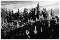 Subalpine larch trees in autumn foliage on slope, Easy Pass, North Cascades National Park.  ( black and white)