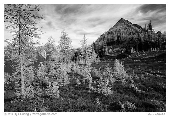 Subalpine larch (Larix lyallii) in autumn foliage at Easy Pass, North Cascades National Park.  (black and white)