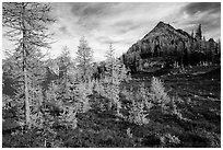 Subalpine larch (Larix lyallii) in autumn foliage at Easy Pass, North Cascades National Park.  ( black and white)
