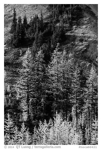Slope with subalpine larch (Larix lyallii) in autumn, Easy Pass, North Cascades National Park.  (black and white)