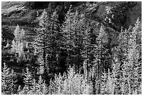 Alpine larch trees (Larix lyallii) with golden needles, Easy Pass, North Cascades National Park.  ( black and white)