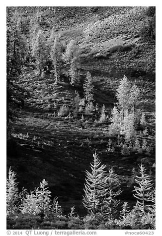 Slope with alpine larch with yellow autumn needles, Easy Pass, North Cascades National Park.  (black and white)