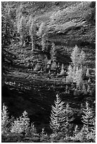 Slope with alpine larch with yellow autumn needles, Easy Pass, North Cascades National Park.  ( black and white)