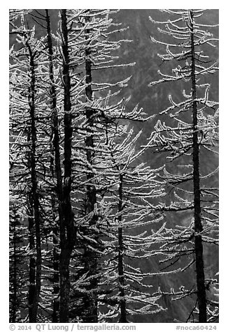 Golden needles of alpine larch (Larix lyallii)  in autumn, North Cascades National Park.  (black and white)