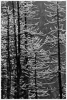 Golden needles of alpine larch (Larix lyallii)  in autumn, North Cascades National Park.  ( black and white)