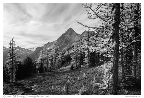 Alpine larch in autumn and Ragged Ridge, North Cascades National Park.  (black and white)
