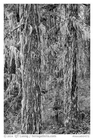 Tree trunks covered with epiphytic moss, North Cascades National Park Service Complex.  (black and white)