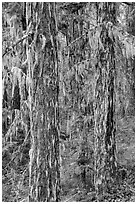 Tree trunks covered with epiphytic moss, North Cascades National Park Service Complex.  ( black and white)