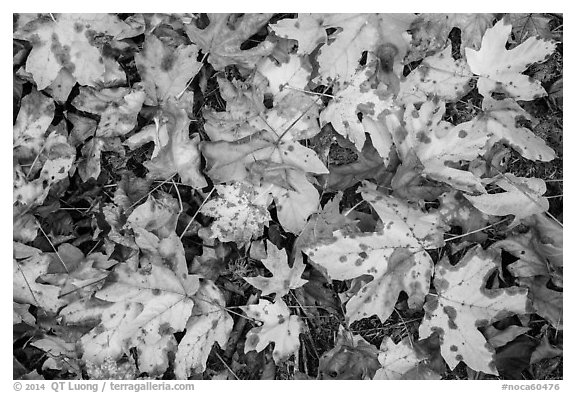 Close-up of fallen leaves, North Cascades National Park Service Complex.  (black and white)