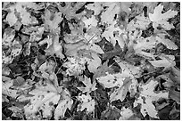 Close-up of fallen leaves, North Cascades National Park Service Complex.  ( black and white)