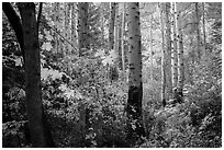Aspen in autumn, North Cascades National Park.  ( black and white)