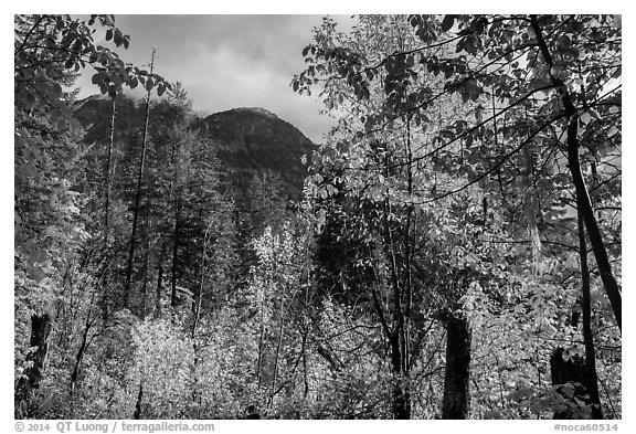 Autumn foliage and McGregor Mountain, North Cascades National Park.  (black and white)