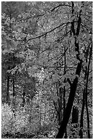 Fall foliage along Agnes Gorge trail, North Cascades National Park.  ( black and white)