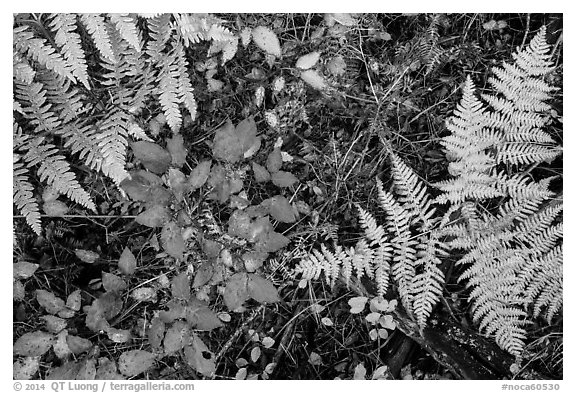 Close-up of ferns and berry plants in autumn, North Cascades National Park Service Complex.  (black and white)