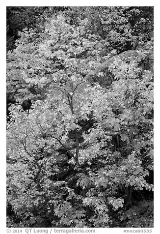 Vine maple in autumn foliage and boulder, North Cascades National Park Service Complex.  (black and white)