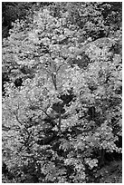 Vine maple in autumn foliage and boulder, North Cascades National Park Service Complex.  ( black and white)