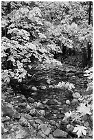 Stream and trees in autum foliage, Stehekin, North Cascades National Park Service Complex.  ( black and white)