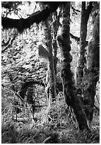 Epiphytic spikemoss on maple trees, Hoh rain forest. Olympic National Park, Washington, USA. (black and white)