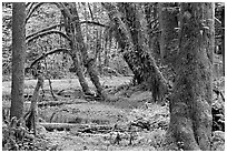 Mosses, trees, and pond, Quinault rain forest. Olympic National Park, Washington, USA. (black and white)