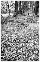 Forest floor carpeted with clovers, Quinault rain forest. Olympic National Park, Washington, USA. (black and white)