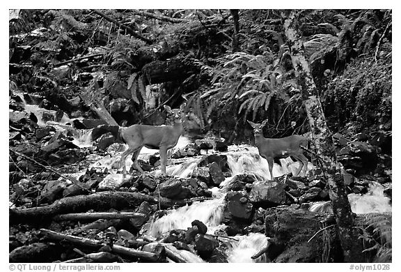 Deer standing in creek. Olympic National Park (black and white)