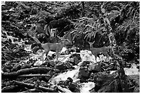 Deer standing in creek. Olympic National Park, Washington, USA. (black and white)