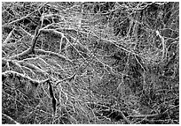 Branches and moss in spring. Olympic National Park, Washington, USA. (black and white)