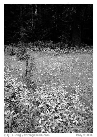 Spring growth in meadow. Olympic National Park (black and white)