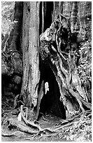 Cedar tree. Olympic National Park, Washington, USA. (black and white)
