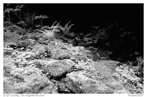 Mosses and boulders along Quinault river. Olympic National Park (black and white)