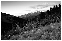 Wildflowers at sunset, Hurricane ridge. Olympic National Park, Washington, USA. (black and white)