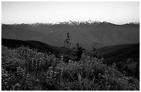 Wildflowers and Olympus range, Hurricane ridge. Olympic National Park ( black and white)