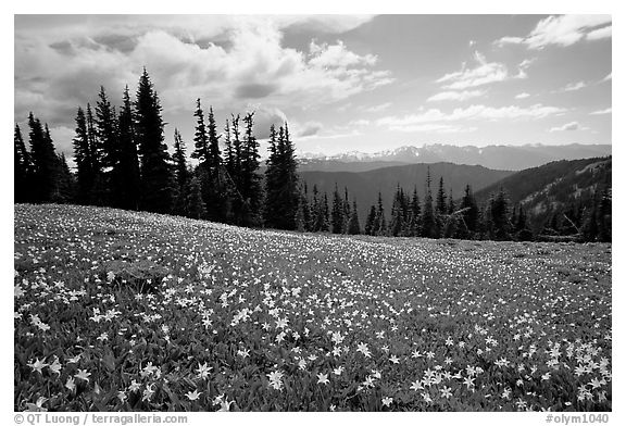 Avalanche lillies, Hurricane ridge. Olympic National Park (black and white)